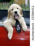 adorable golden retriever puppy with sloppy kisser tie - stock photo