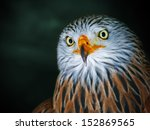 red kite portrait  milvus... | Shutterstock . vector #152869565