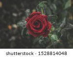 Small photo of Snow rose. Winter miracle. Flower of love. Frosen flower. beautiful flower.