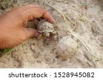 Stock photo africa spurred tortoise are born naturally tortoise hatching from egg cute portrait of baby 1528945082