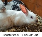 Stock photo cute white rabbit with pink ears on the background of other rabbits a white fluffy rabbit is 1528984205