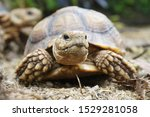 Stock photo  close up baby african spurred tortoise resting in the garden slow life africa spurred tortoise 1529281058