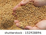 wheat in a hand   good harvest | Shutterstock . vector #152928896