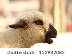 Portrait Of A Funny Lamb...
