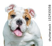 Stock photo english bulldog isolated on white background 152935058