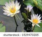 Stock photo white petal lotus flower in a pond with yellow pollen and purple petal at the edge of petal with 1529473205