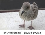 Juvenille Seagull. A Young...