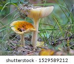 Two Yellow Toadstools On The...