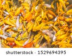 Crowded Of Golden Koi Fish ...