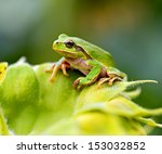 Green Tree Frog On A Branch