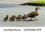 A Family Of Ducks Walking...