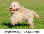 Goldendoodle Dog Puppy 3 Month...