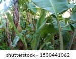 Hawaiian Rain Forest With  Bir...