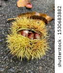 3 Conkers Inside A Horse...
