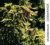 Pine cones in nature in...