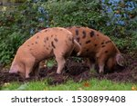 Oxford Sandy and Black pigs in the New Forest, Hampshire UK. During the traditional pannage season in autumn, pigs are released into the forest to eat acorns which are poisonous to other animals.
