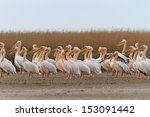 white pelicans in the danube... | Shutterstock . vector #153091442