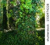 Dense Green English Ivy...