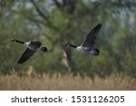 Two Canade Geese Flying  Side...