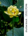 Small photo of A Beautiful Blooming Yellow Lotus Water Lily Pad Flower, Growing Wild in Texas. (Nelumbo lutea, American Lotus) Peace and Tranquility.