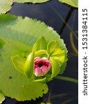 Lotus Stem  Water Lily  Red...