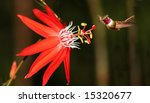 Red Passiflora Coccinea With...