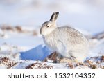 Stock photo white mountain hare lepus timidus in scottish highland these hare change their fur colour white 1532104352