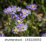 Colorful Blue Aster Wildflowers ...