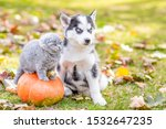 Stock photo husky puppy sitting with a kitten in autumn park and looking away 1532647235