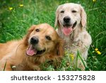 Stock photo portrait of two young dogs playing in the meadow 153275828