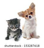 Stock photo portrait of a cute purebred puppy chihuahua and tabby cat in front of white background 153287618