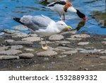 Stock photo herring gull larus argentatus in park 1532889332