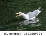 Stock photo herring gull larus argentatus in park 1532889335