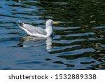Stock photo herring gull larus argentatus in park 1532889338
