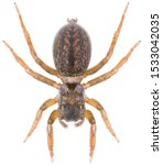 The Euophrys Frontalis Spider...