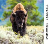Bison At Yellowstone National...