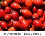 Many Fruits Of Rosa Canina