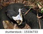 Small photo of Western Cottonmouth (Agkistrodon piscivorus leucostoma)