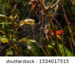 Spider Web In A Rose Bush