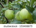 Green Apples On A Branch With...