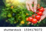 Red Fresh Tomatoes In Beautiful ...