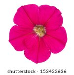 Single Pink Petunia Isolated O...