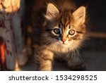 Stock photo manx kittens photographed with a macro lens mm playing in the sunset 1534298525