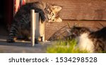 Stock photo manx kittens photographed with a macro lens mm playing in the sunset 1534298528
