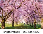 Cherry Blossoming Trees In...