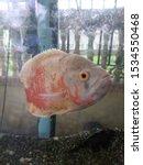 Aesthetic Of Oscar Fish ...