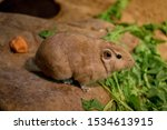 The common gundi (Ctenodactylus gundi) is a species of rodent in the family Ctenodactylidae. It is found in Algeria, Libya, Morocco, and Tunisia.