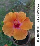 Stock photo hibiscus flowers large orange petals thin petals clearly visible lines on the petals the base of 1534890002