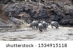 A group of zebra emerge from the Mara River following a river crossing during the annual great migration. In the Masai Mara, Kenya.