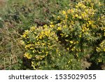 Yellow Gorse Flowers In Bloom